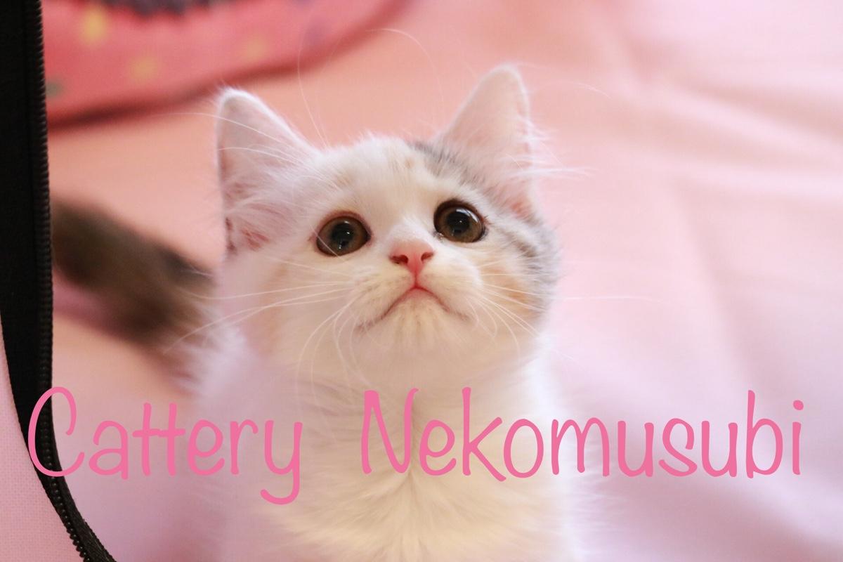 マンチカン専門キャッテリー猫結/Nekomusubi